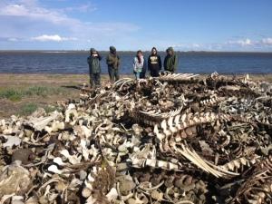 beluga bone pile